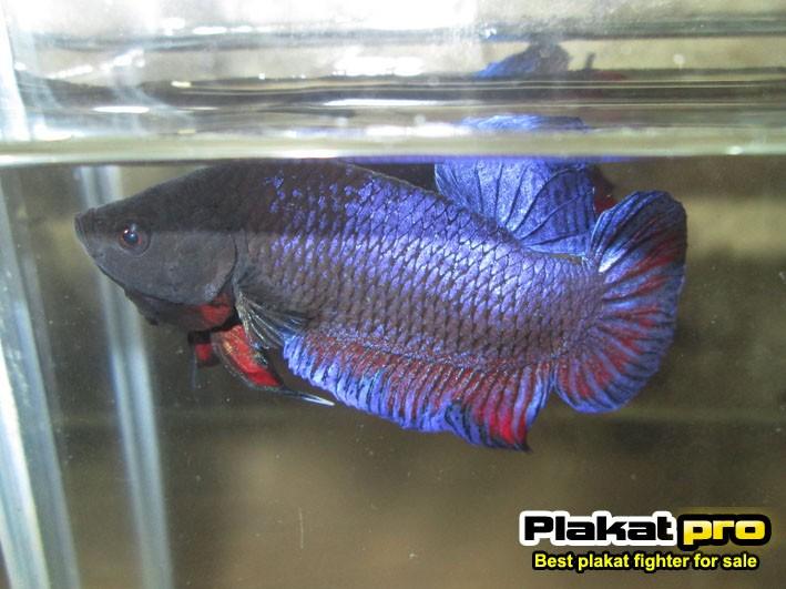 Plakatpro fighter betta p 92 for Betta fish training